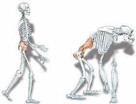 the evolution of walking (bipedalism) | the daily beagle, Skeleton
